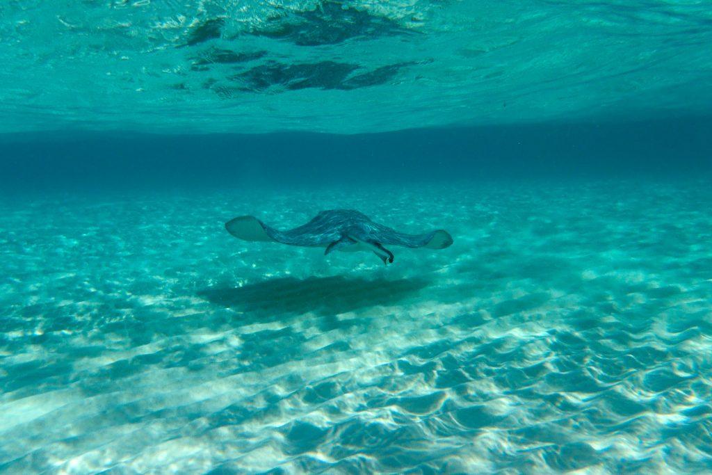 Stingray city, Cayman Islands