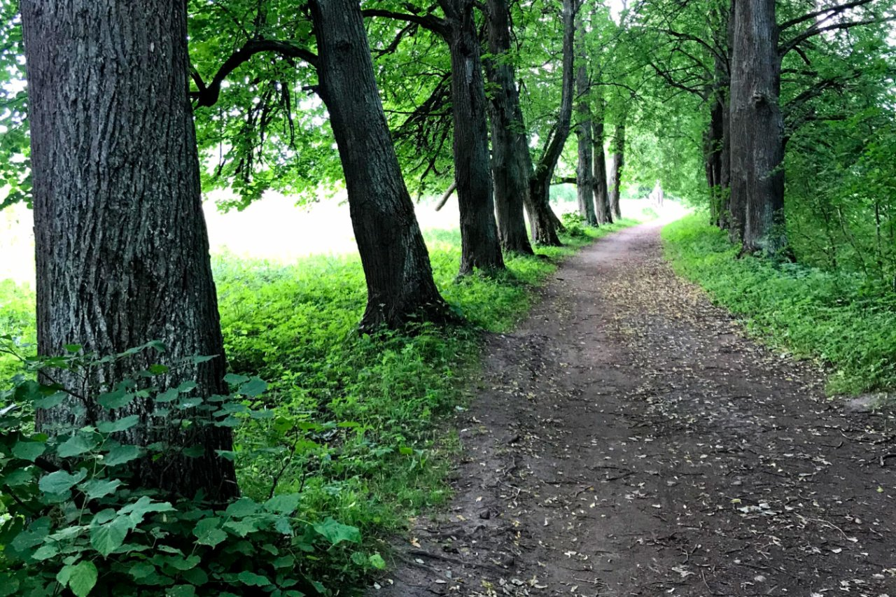 Alley with old linden trees in Meadow Park, Peterhof, Russia