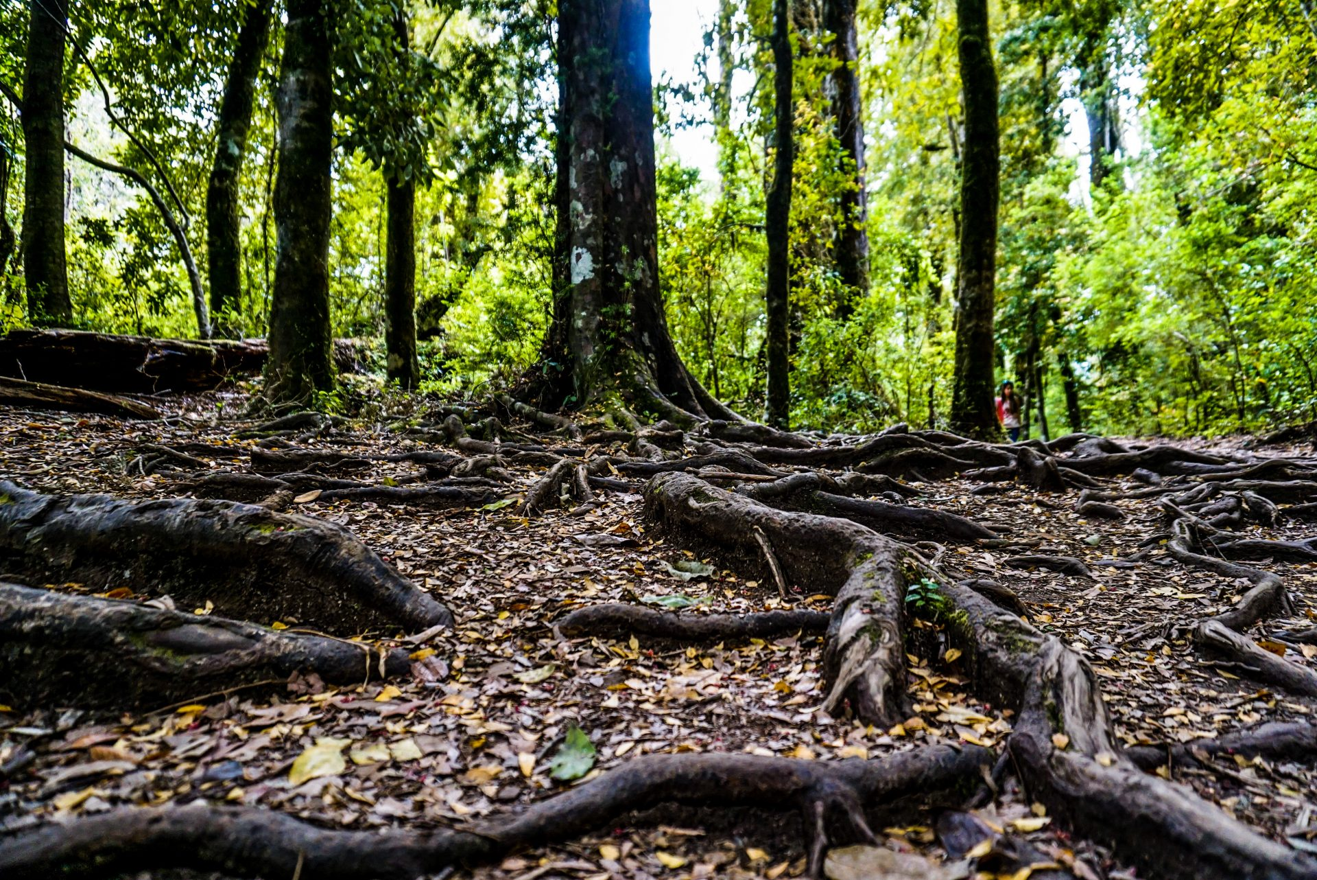 Forest in the Huilo Huilo reserve, Chile - Experiencing the Globe
