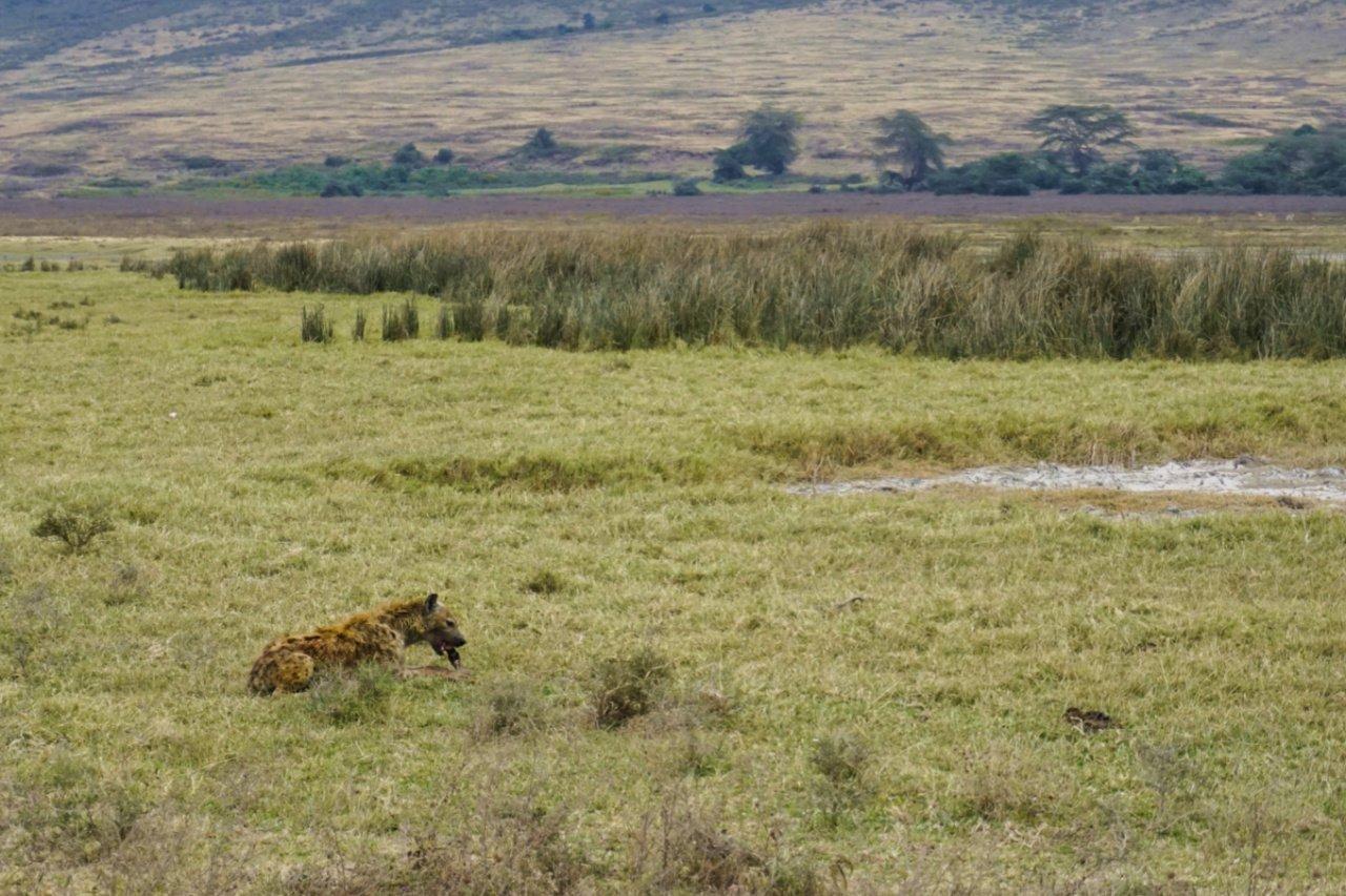 Hyena in Ngorongoro Conservation Area, Tanzania - Experiencing the Globe