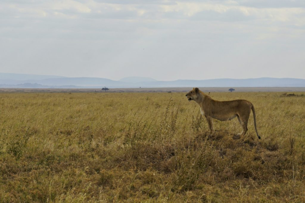 Lioness in the Serengeti National Park , Tanzania - Experiencing the Globe