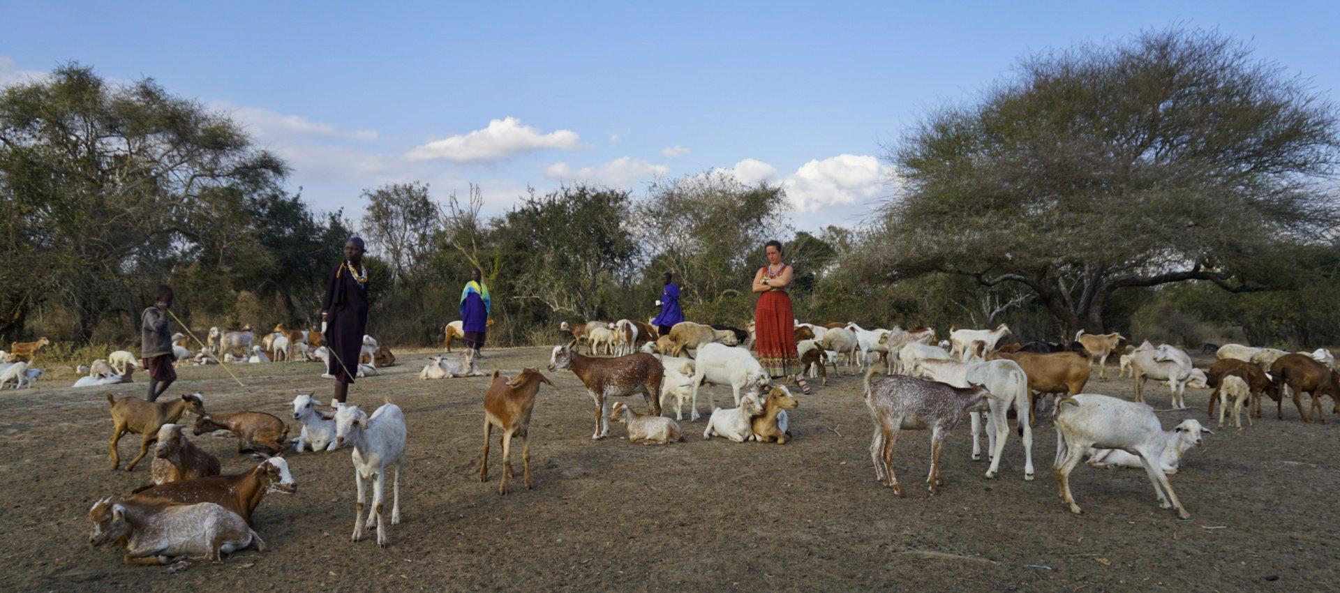 The goats return to the Masai boma, Tanzania - Experiencing The Globe