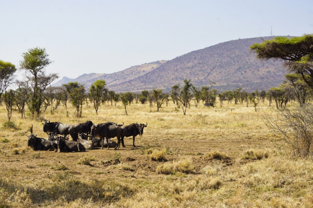 Wildebeest in the Serengeti National Park, Tanzania - Experiencing the Globe