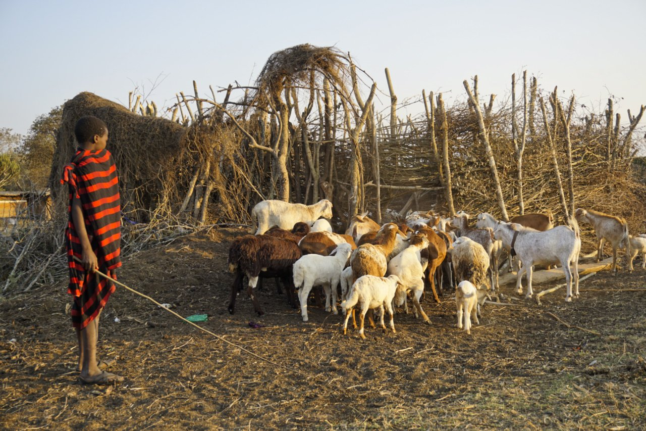 Young Masai with his goats and sheep, Tanzania - Experiencing The Globe