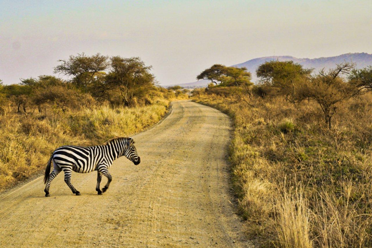 Zebra crossing a road in the Serengeti National Park, Tanzania - Experiencing the Globe
